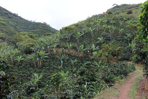 Cafeteros del Cauca