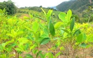 Cultivos de coca acaban con el bosque - coca