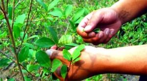 Campesinos - cultivo de coca