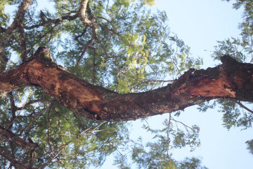 Árbol Orejero de Santander de Quilichao