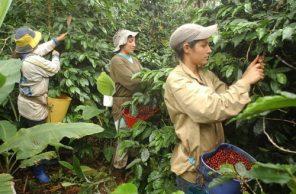La asociatividad y la cooperativa de caficultores del Cauca
