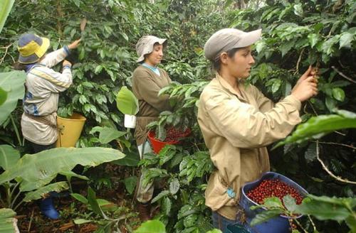 INCIDENCIAS DEL CAFÉ EN LA NACIÓN Y EN EL CAUCA