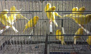 Canarios perseguidos