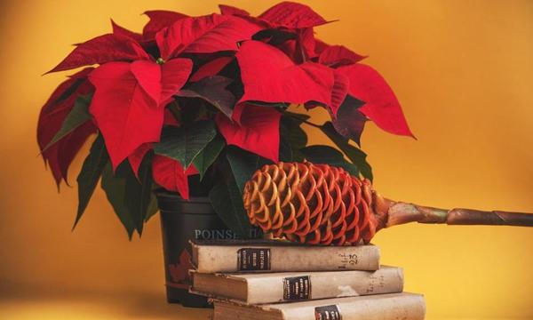 Aliste la poinsettia para esta Navidad