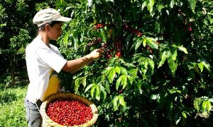 Apoyo a pequeños productores para renovación de cafetales