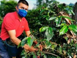 Cafeteros se preparan para la mayor cosecha del año