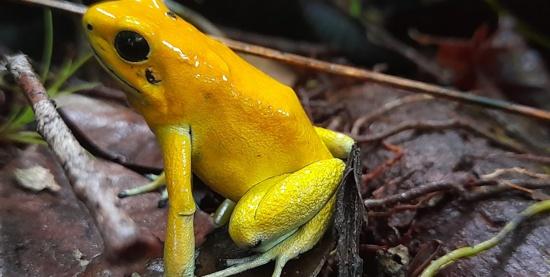 Phyllobates terribilis color amarillo Autor Harold Puama