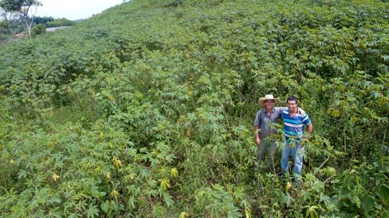 Entregarán semilla de yuca para uso industrial en el Cauca - Cultivo de Yuca