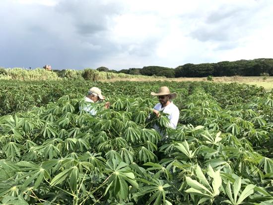 Investigacion en cultivo de yuca - Agrosavia