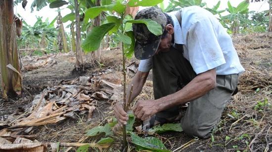 Siembra de cacao para fortalecer la productividad de los agricultores