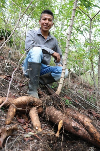 AGROSAVIA entregará semilla de yuca para uso industrial en Cauca