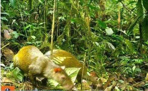 Cámaras de la CRC captaron un tigrillo oscuro y otras especies en Argelia