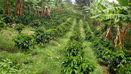 Se fortalece la estrategia 'Ni una hectárea de café sin sombra'
