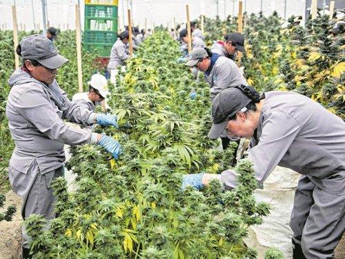 Ya se puede exportar legalmente cannabis