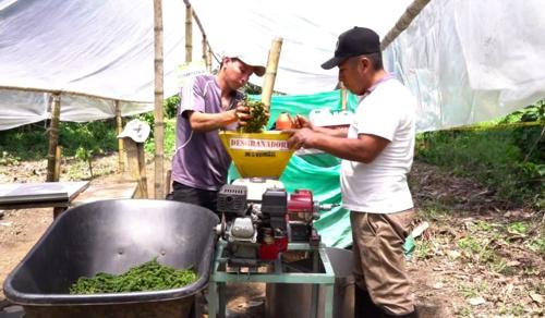 La pimienta, el oro de los campesinos que dejaron la coca